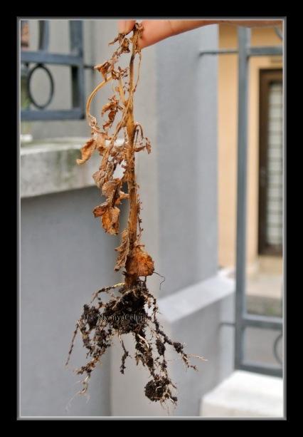 Dead potato plant