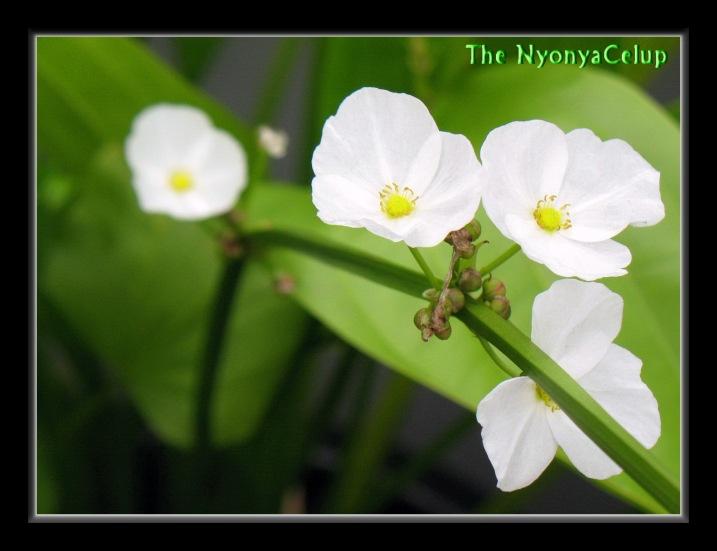 Echinodorus blooms