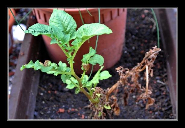 Potato plant.