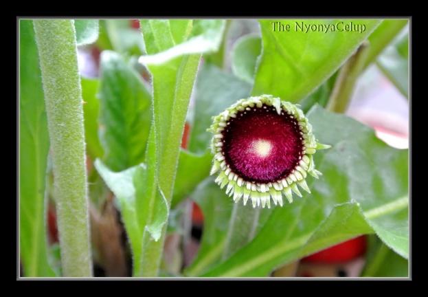 Gerbera bloomlett