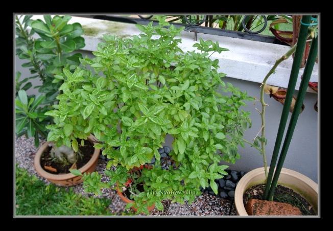 Basil plant next to a tomato plant