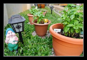 Basil plants in pots