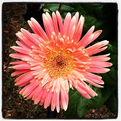 Cheerful pink gerbera